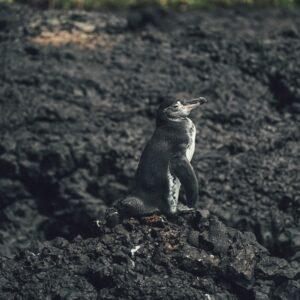 μικρός πιγκουίνος